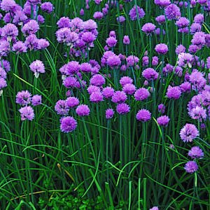 Chives like full sun but can tolerate some shade. Plus they are a reliable perennial herb.