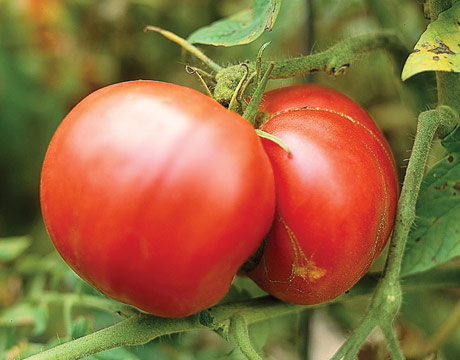 Waiting for your tomatoes to ripen can try anyone's patience.