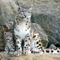 A mother snow leopard and her cub. Will OS X Snow Leopard continue Apple's market share growth?